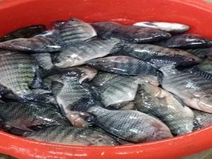زراعة بنها تطرح بشائر إنتاجها من الأسماك بسعر التكلفة للمواطنين